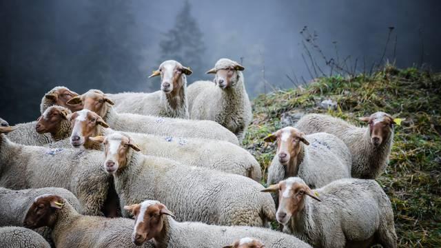 Alpages et chiens de protection